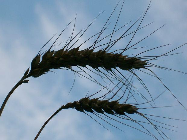 wheat paleo